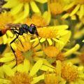 Alomya-debellotor-Wasp-Broadwater-Warren