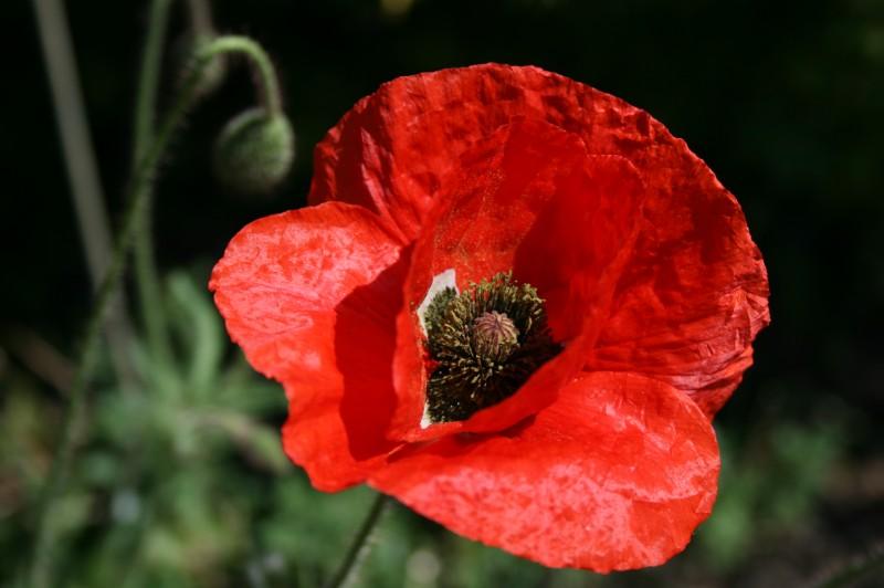 JanetOC-Red-poppy