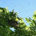 JanetOC-bees-swarming